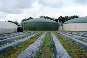 Diesem Spargel geht es gut: Auf dem Hof Denissen (MeckPomm) wird Spargel auf beheizten Feldern angebaut – mit Wärme aus zwei Biogasanlagen. Quelle: EnviTec