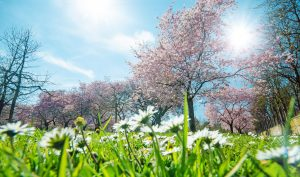 Frühling, Glück, Freude: Gänseblümchen vor Japanischen Kirschblüten :)